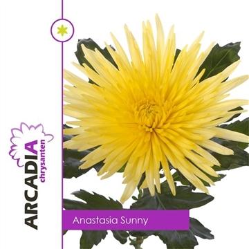 CHR G ANAST SUNNY Arcadia