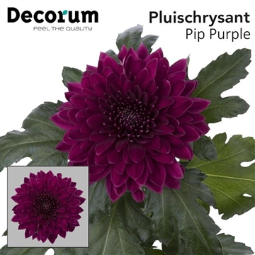 CHR G PIP PURPLE P100Decorum