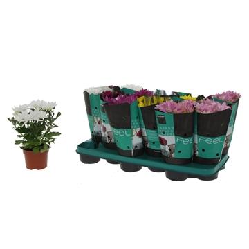 Chrysanthemum Chrysanne® 'Margarita' Mix Decorum