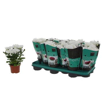 Chrysanthemum Chrysanne® 'Margarita' White Decorum