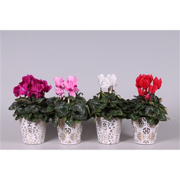 Collectie 'Precious' - Cyclamen in Smartcup Jen (Kerst)