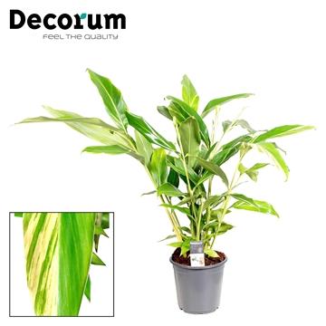 Alpinia variegata zerumbet (Decorum)