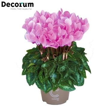 Cyclamen Metis Pink Decorum