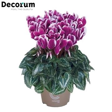 Cyclamen Metis Violet Flame Decorum