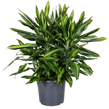 Dracaena Fragrans Cintho Big Sized