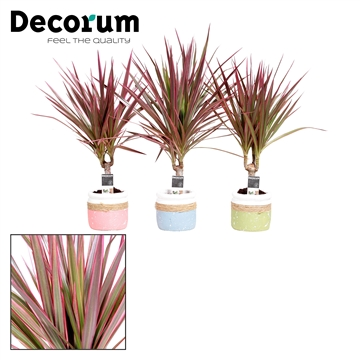 Dracaena Make-Upz Roze op stam 7 cm in pot Joy (Decorum)