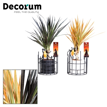 Dracaena Make-Upz Mix op stam 7 cm in pot Dani (Decorum)