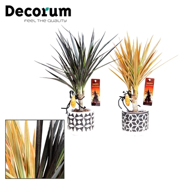 Dracaena Make-Upz Mix op stam 7 cm in pot Pamm (Decorum)