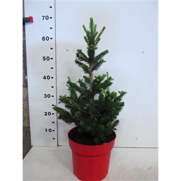 Picea abies Will's Zwerg 40-50 P23