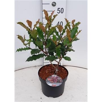 Photinia serratifolia 'Cruchy'