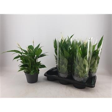 Spathiphyllum 17 cm 'Torelli' Blanco hoes