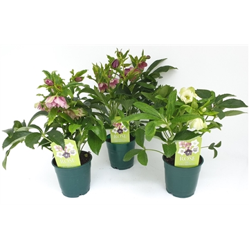Helleborus orientalis T12  - Vorblüher/Menge begrenzt - early blooming flowers/quantity limited