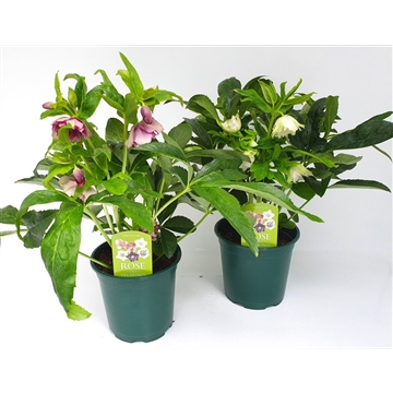Helleborus orientalis T14   Vorblüher/Menge begrenzt - early blooming flowers/quantity limited