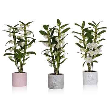 Dendrobium apollon 2 stam 16+ in beton pot stip 3 kleuren