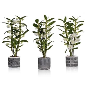 Dendrobium apollon 2 stam 16+ in beton pot geometrie in  3 prints