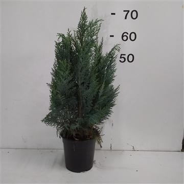 Chamaecyparis lawsoniana 'Columnaris' plantmaat 50-60