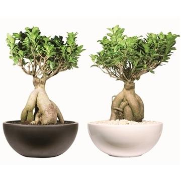 Ficus microcarpa, Ginseng - Bonsai 30cm round Ceramic