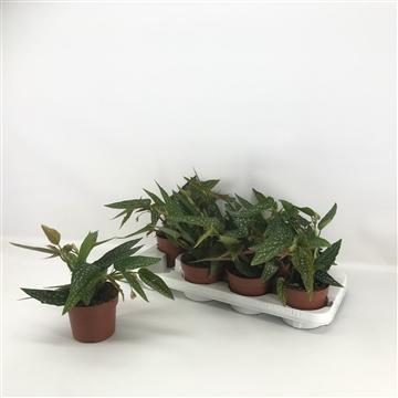 Begonia Maculata Mini (Stippenplant)