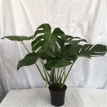 Monstera potplant