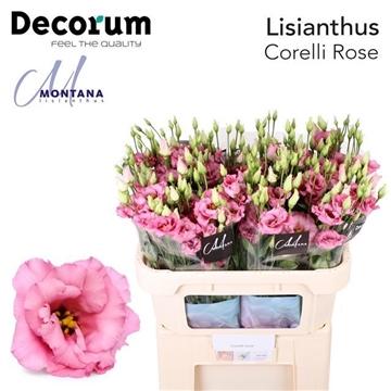 Lisianthus Corelli rose 70 cm