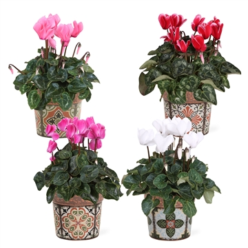 Collectie 'Unique' - Cyclamen in Jasmine