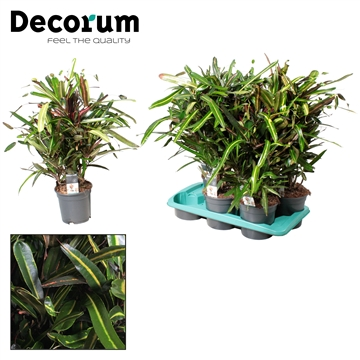 Croton Golden Bell vertakt (Decorum)