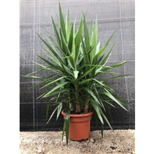 Yucca Elephantipis multi trunck