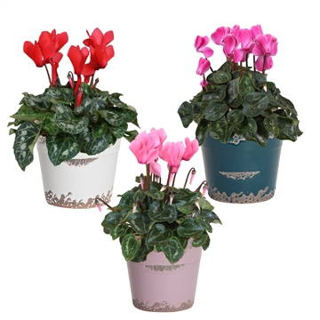 Collectie 'Passion' - Cyclamen in Femke (Kerst)