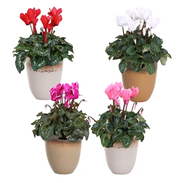 Collectie 'Winter Bliss' - Cyclamen gemengd in keramiek Britt