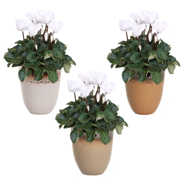 Collectie 'Winter Bliss' - Cyclamen wit in keramiek Britt (Kerst)