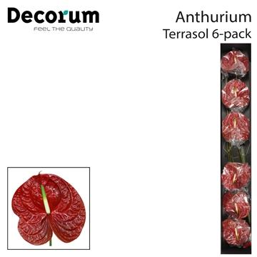 Anth A Terrasol