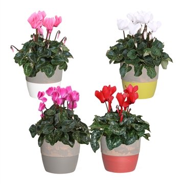 Collectie 'Shades of Nature' - Cyclamen in pot Amelie