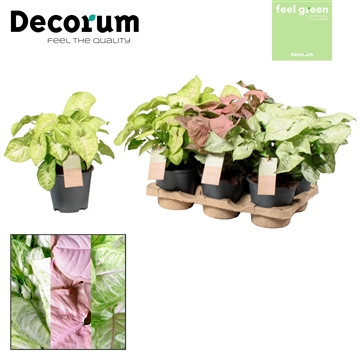 Syngonium gemengd Feel Green (Decorum)