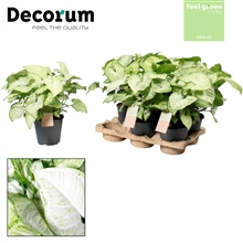 Syngonium White Butterfly Feel Green (Decorum)