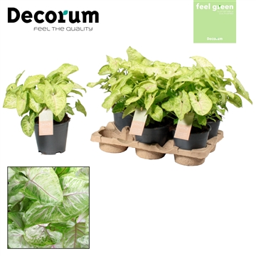 Syngonium Golden Feel Green (Decorum)