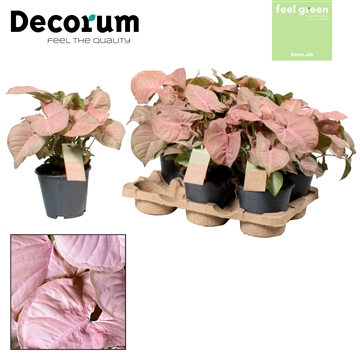 Syngonium Red Heart Feel Green (Decorum)