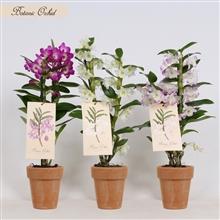Artikel #444167 (BO2MX12 TERRA: Botanic orchid dendrobiumgemengd 2 tak in terra cotta pot)