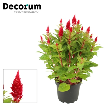 Celosia XXL Autumn red