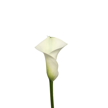 Zantedeschia mixed.