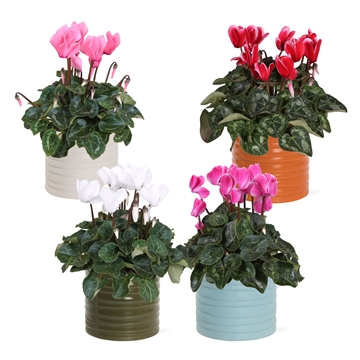 Collectie 'Unique' - Cyclamen in Hugo