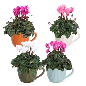 Collectie 'Unique' - Cyclamen in Nickie