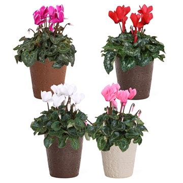 Collectie 'Urban & Green' - Cyclamen in Urban