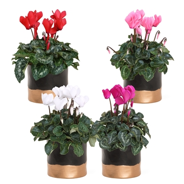 Collectie 'Basic & Gold' - Cyclamen in Bella Gold (Kerst)