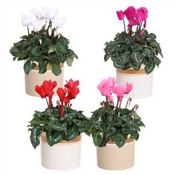Collectie 'Winter Bliss' - Cyclamen in pot Joy