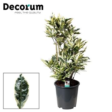 Croton Tamara vertakt (Decorum)