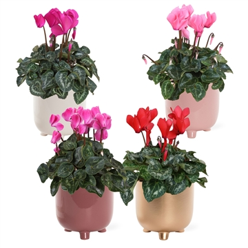 Collectie 'Moments' - Cyclamen in Shelley