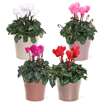 Collectie 'Moments' - Cyclamen in keramiek Veronica