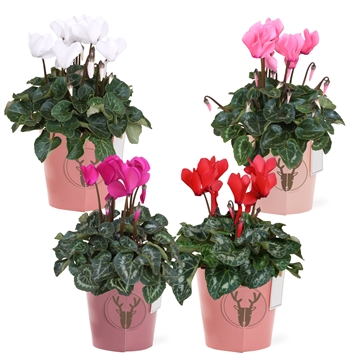 Collectie 'Moments' - Cyclamen in Smartcup Moments
