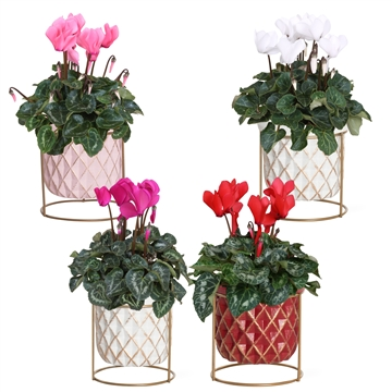 Collectie 'You & Me'- Cyclamen in Lonne