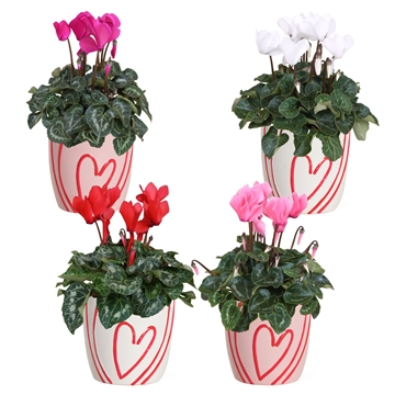 Collectie 'You & Me'- Cyclamen in Sweet (Valentijn)